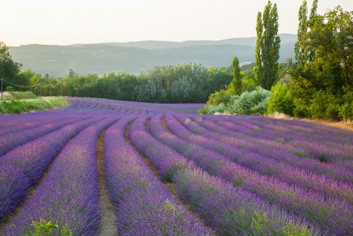 Fields of lavender Provence France